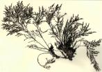 Cystoseira_tamariscifolia