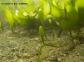 Caulerpa prolifera de la Bahía