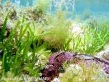 Cymodocea nodosa y holoturia (2)